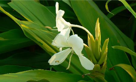 穿梭綠草叢中的白蝴蝶花「野薑花」
