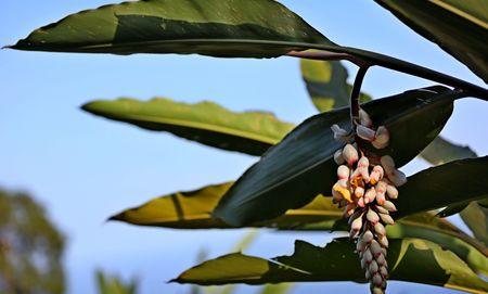 月桃又有荳蔻之稱,是著名的香料之一。